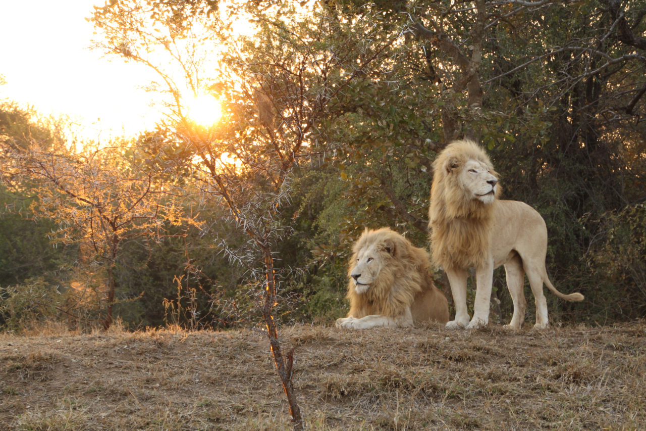 20 Questions with White Lions Conservationist Linda Tucker